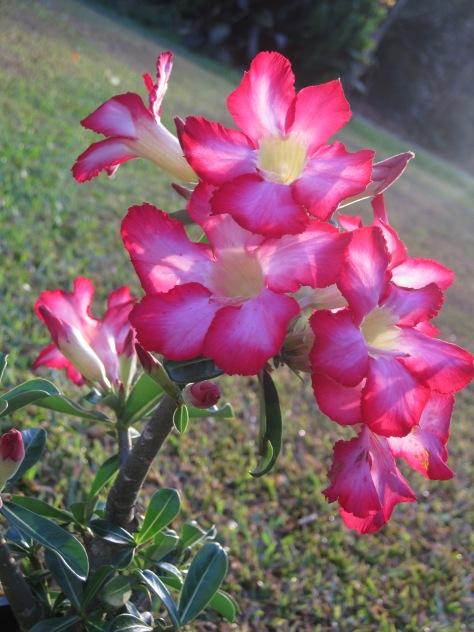 Desert Rose 12th November, 2012 027