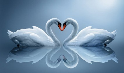 white_swan_05_hd_picture_168979