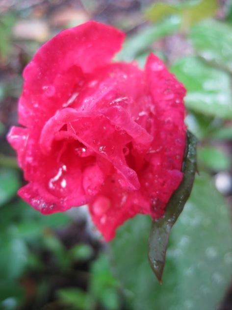 When a Rose Cries
