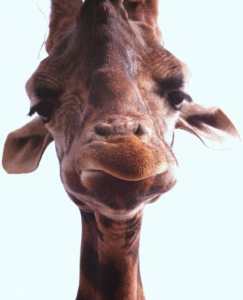 giraffe_189355