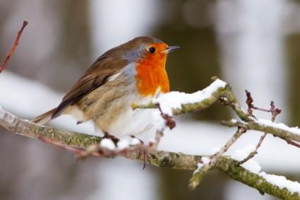 Little Robin in Snow