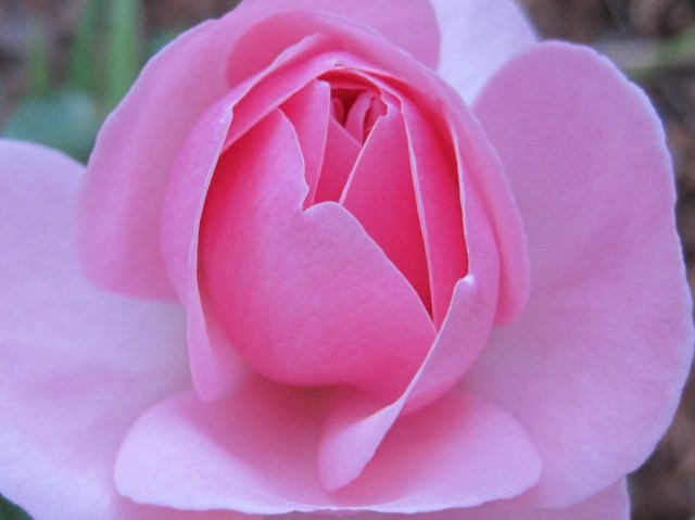 Rose Petal Friends
