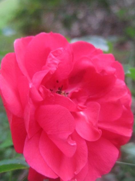 The Rose Rose 2