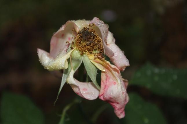 A Petal Unfolds