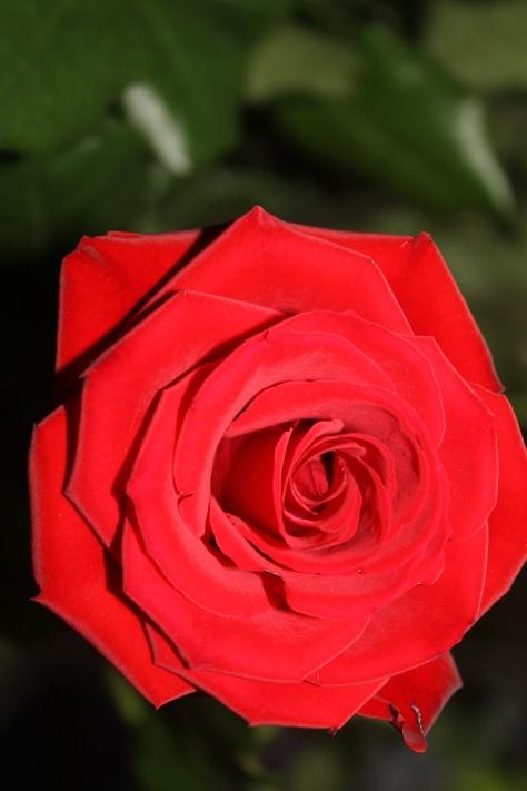 Forever A Rosebud ...