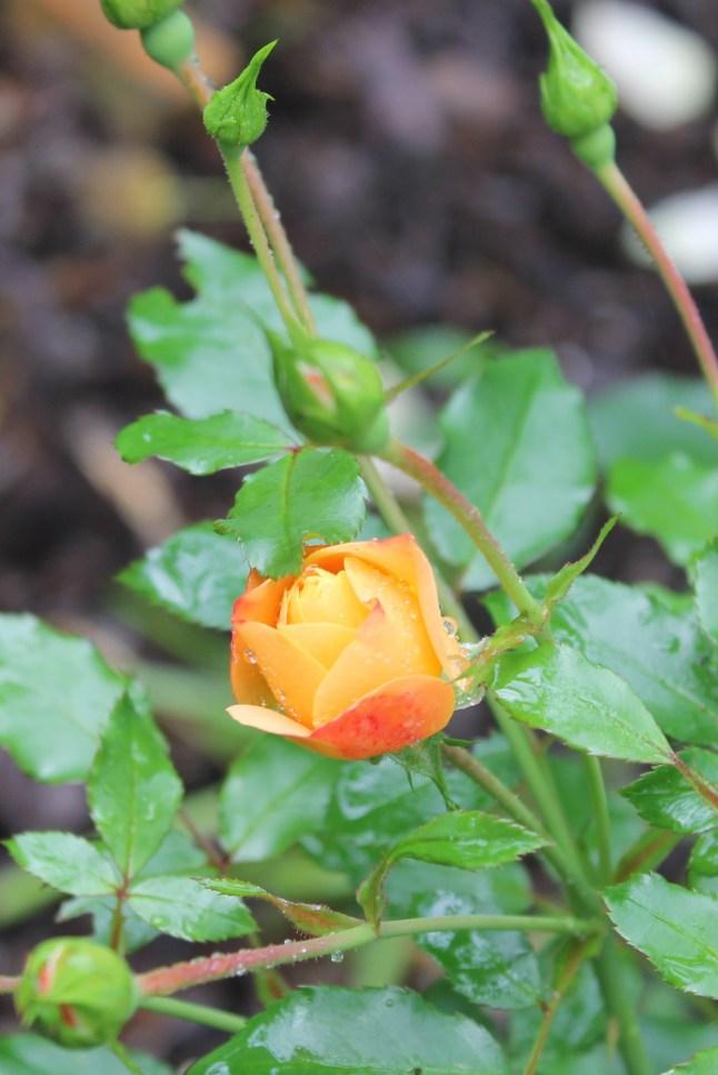 82 Roses
