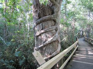 IMG_2776 BW at Big Cypress Bend